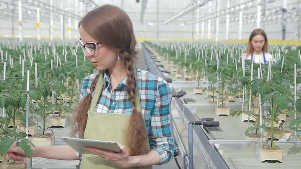 Thumbnail for Young Farmer Checks Crop of Tomatoes in Greenhouse Closeup. Pretty Woman Holds in Hands Tablet