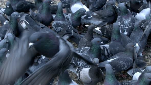 Thumbnail for Animal Bird Pigeon Doves 6
