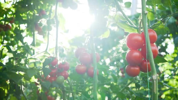 Cover Image for Ripe tomatoes on the vine