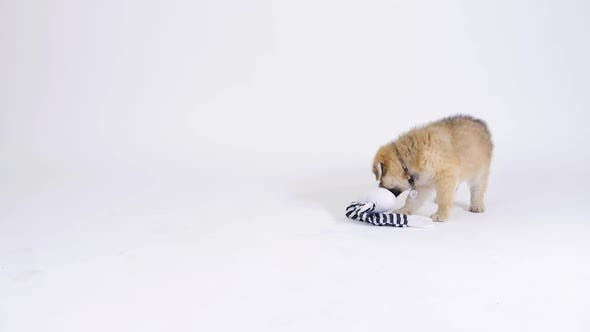 Thumbnail for Puppy Dog Playing With Toy On White Background