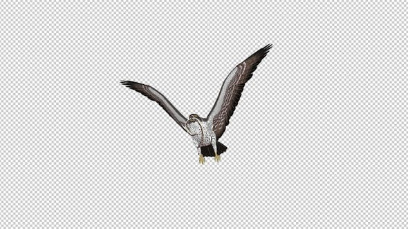 Snake Eagle with Caught Serpent - Flying Transition - V