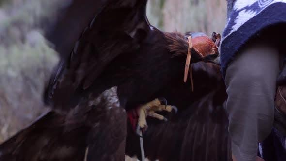 Thumbnail for Golden eagle with blinder hood