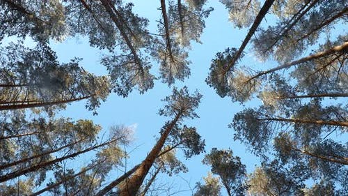 Canopy Of Tall Snowy Pine Trees. Upper Branches Of Woods In Coniferous Forest. Winter Pinewood, Wide