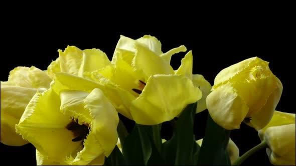 Thumbnail for Shooting Tulips 4