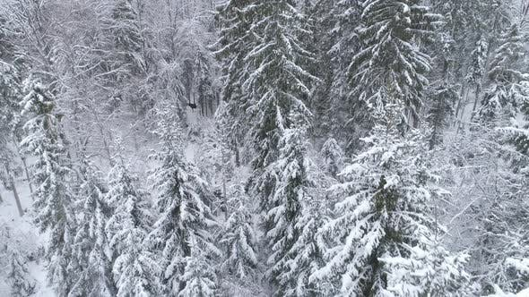 Thumbnail for Snowy Forest and Wild Moose Aerial