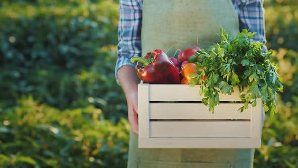 Thumbnail for A Farmer Holds a Box of Juicy Fresh Vegetables From His Field
