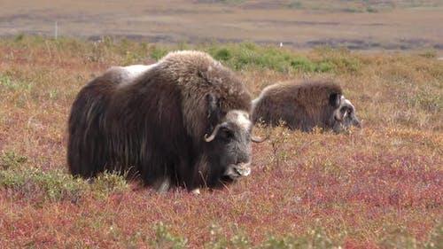 Musk Ox Adult Herd Many Standing in Autumn in Alaska