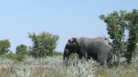 Thumbnail for African Elephant in Namibia, Africa safari wildlife