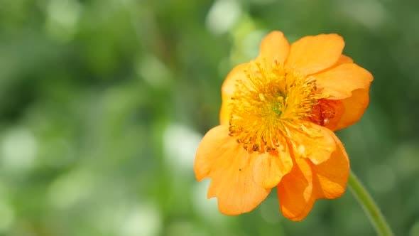 Thumbnail for Orange flower Calendula officinalis Common Marigold shallow DOF 4K 2160p 30fps UltraHD footage - Eng