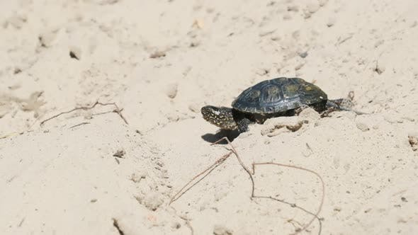 Thumbnail for River Turtle Crawling on Sand To Water Near Riverbank. Slow Motion 240 Fps