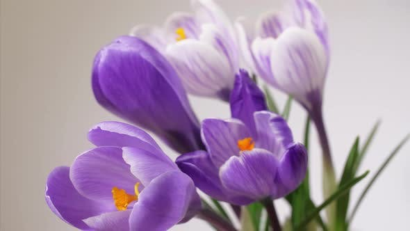 Thumbnail for Purple and White Crocuses of Saffron Blooming