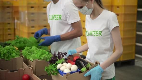 Freiwillige Leute packen frisches Gemüse ein und arbeiten in Agro Holding während Pandemie Spbd