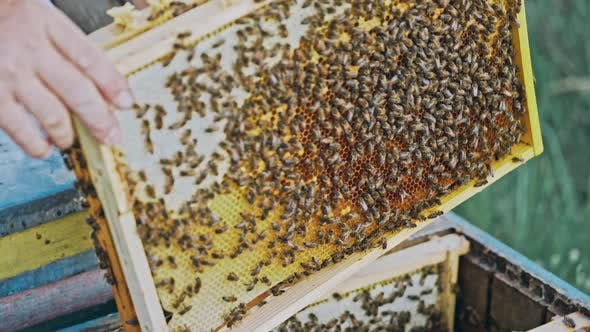 Thumbnail for Bees Flying Back in Hive After an Intense Harvest Period