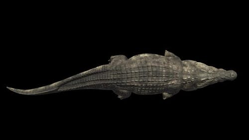 Top View Of Crocodile Swimming With Alpha Channel