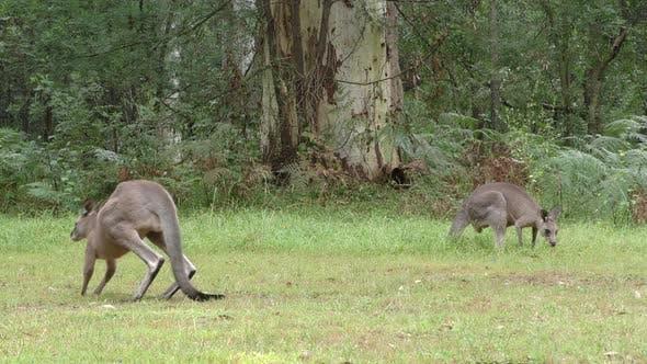 Eastern Grey Kangaroo Buck Male Adult Pair Eating Grazing