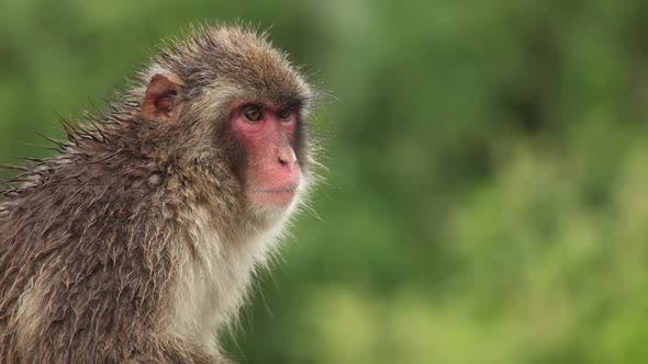 Cover Image for Japanese Monkey In The Rain