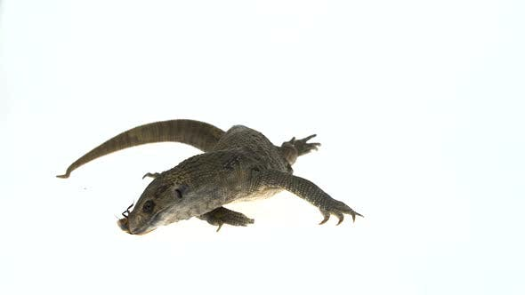 Thumbnail for Savannah Monitor Lizard Eats Cockroach (Varanus Exanthematicus) on White Background.