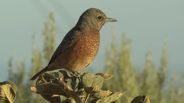 Thumbnail for Songbird Marakele National Park Dry Season in South Africa