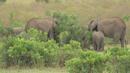 African elephants eating