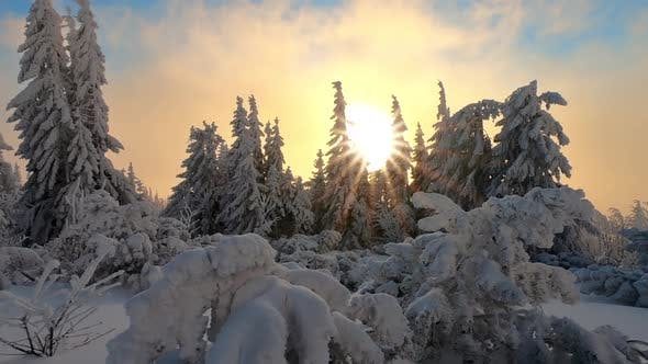 Thumbnail for Sunrise in Frozen Forest with Snowy Trees in Cold Winter