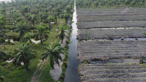 Young pineapple is planted with young oil palm