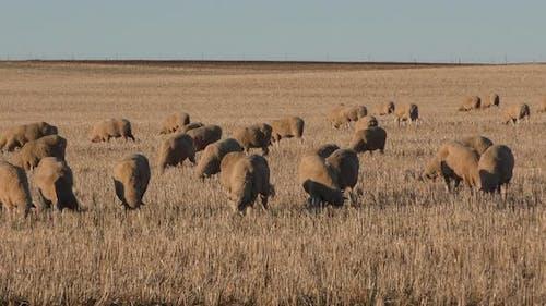 Sheep Herd Many Eating Grazing Dawn Morning Rangeland Domestic Flock Ranching