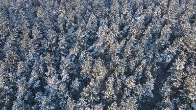 Snow-covered Coniferous Forest