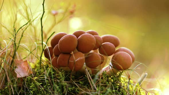 Thumbnail for Armillaria Mushrooms of Honey Agaric In a Sunny Forest.