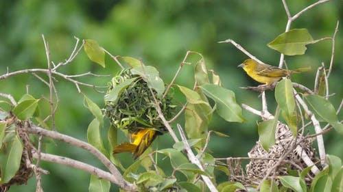 Male Weaver Bird Building a Nest in A Tree