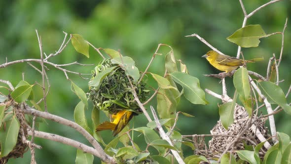 Thumbnail for Male Weaver Bird Building a Nest in A Tree