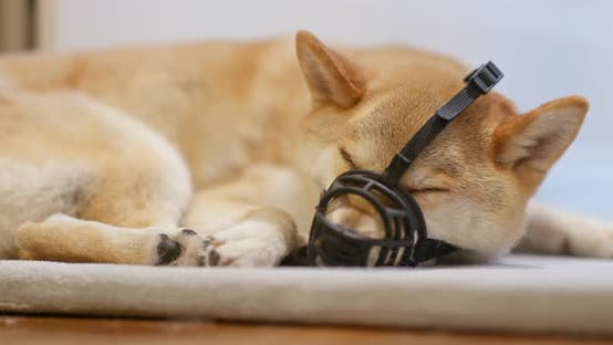 Thumbnail for Shiba inu with muzzle