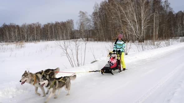 Winter walk with dogs Husky