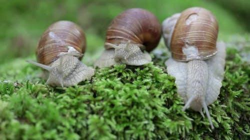 Helix Pomatia Also Roman Snail
