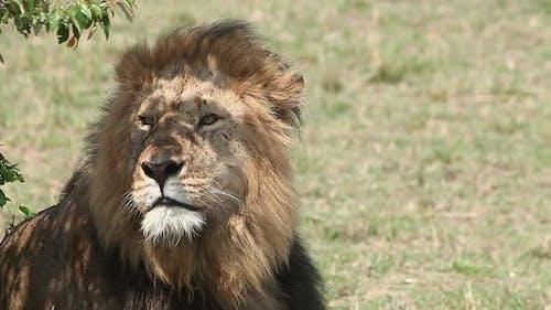 750238 African Lion, panthera leo, Male licking its Nose, Masai Mara Park in Kenya, Real Time