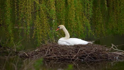 A Swan Sits in a Nest on a Pond
