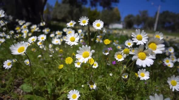 Thumbnail for White Daisy Flower In Nature 6