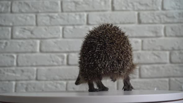 Thumbnail for Wild Hedgehog. Small Mammal with Spiny Hairs on Its Back and Sides