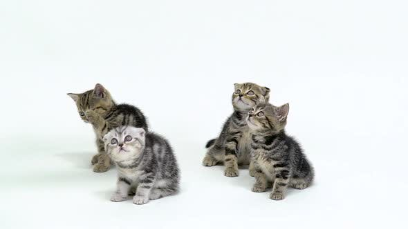Thumbnail for Four Scottish Fold and Straight Kittens Look Up in a White Studio, White Background, Slow Motion