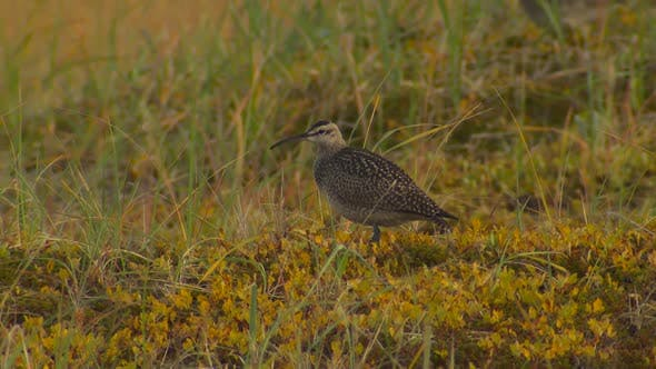 Thumbnail for Whimbrel Several Foraging Looking For Food in Autumn in Alaska