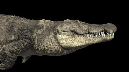 Crocodile Swim With Alpha Channel