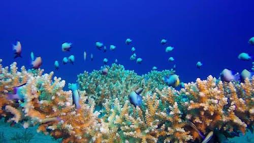 Unterwater Red Sea Dascyllus Fish