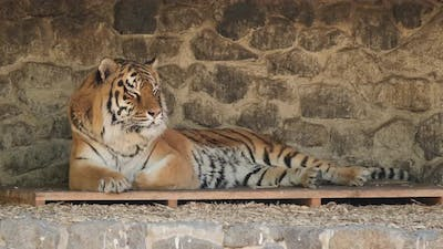 Close up Shot of Resting Tiger. Beautiful Wild Bengal Tiger Lying in zoo.