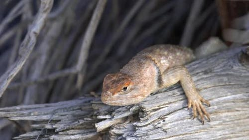 Desert Spiny Lizard laying on branch looking around