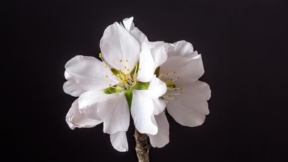 Thumbnail for Almond Flower Blossom Dolly Timelapse 6