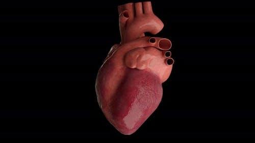 Human Heart Beating