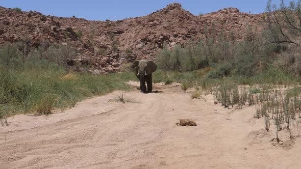 Bull desert elephant peeing and pooping
