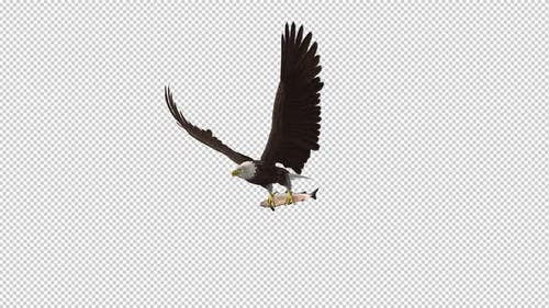 Bald Eagle with Salmon Fish - 4K Flying Loop - Side Angle II