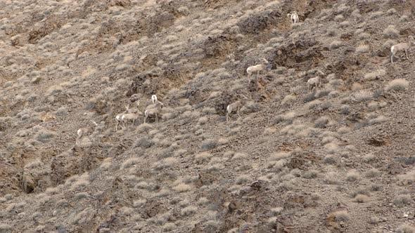 Thumbnail for Desert Bighorn Sheep Ram Ewe Male Female Adult Immature Herd Band Eating Feeding Browsing Slope