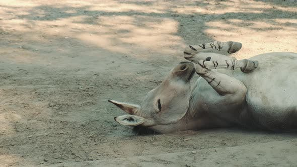 Donkey Rolling Over and Fluttering Its Ears