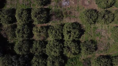 Drone View of Fruit Trees